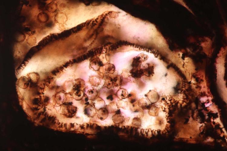 carbonifère pollen 11_V9.jpg