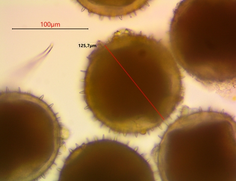 pollen cucurbita pepo x 400.jpg