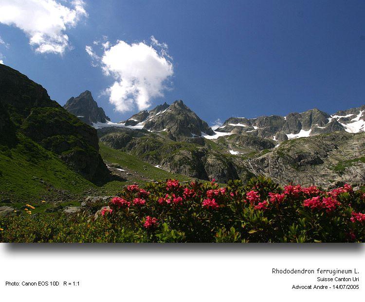 Rhododendron_ferrugin1.jpg