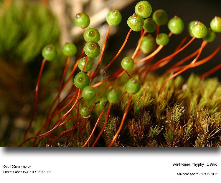 Bartramia_ithyphylla1.jpg