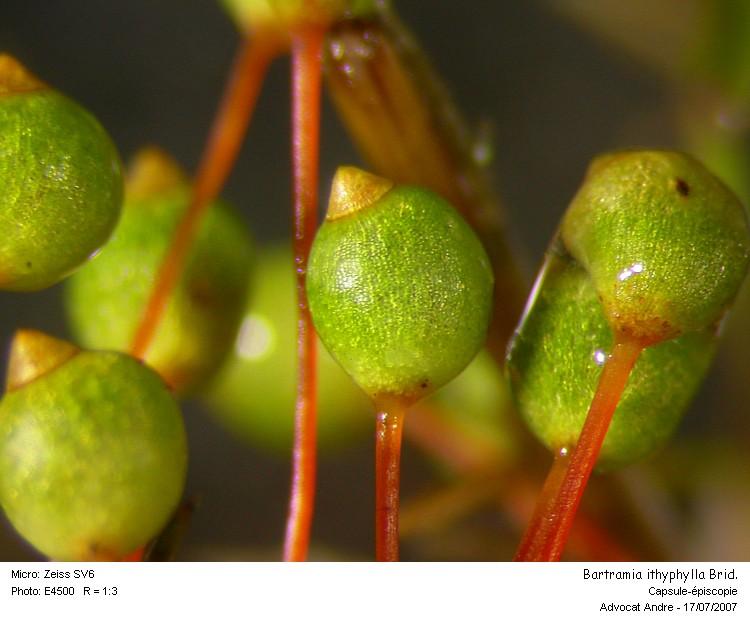 Bartramia_ithyphylla2.jpg