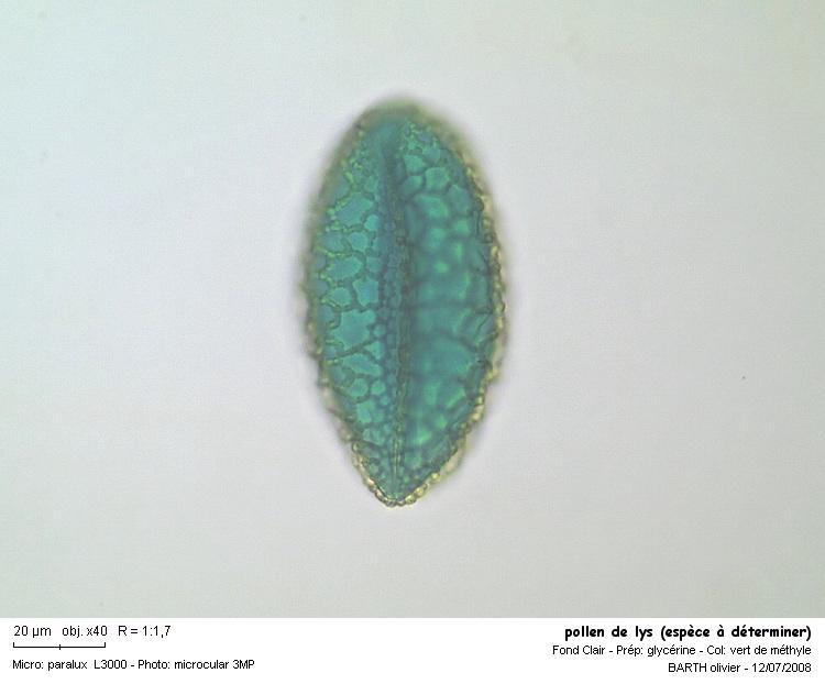 pollen_de_lys_espece_a_determiner1P.JPG