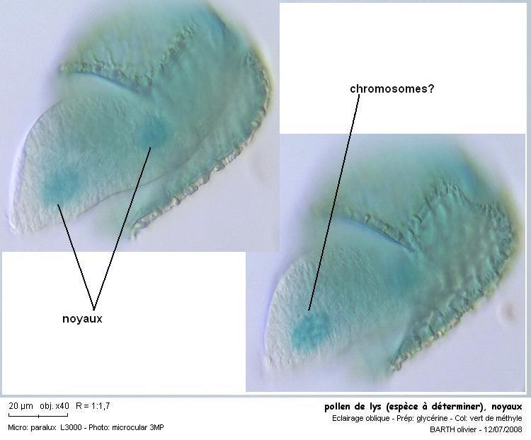 pollen_de_lys_espece_a_determiner_noyauxF.JPG