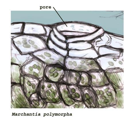 marchantia_pore_c1w.jpg
