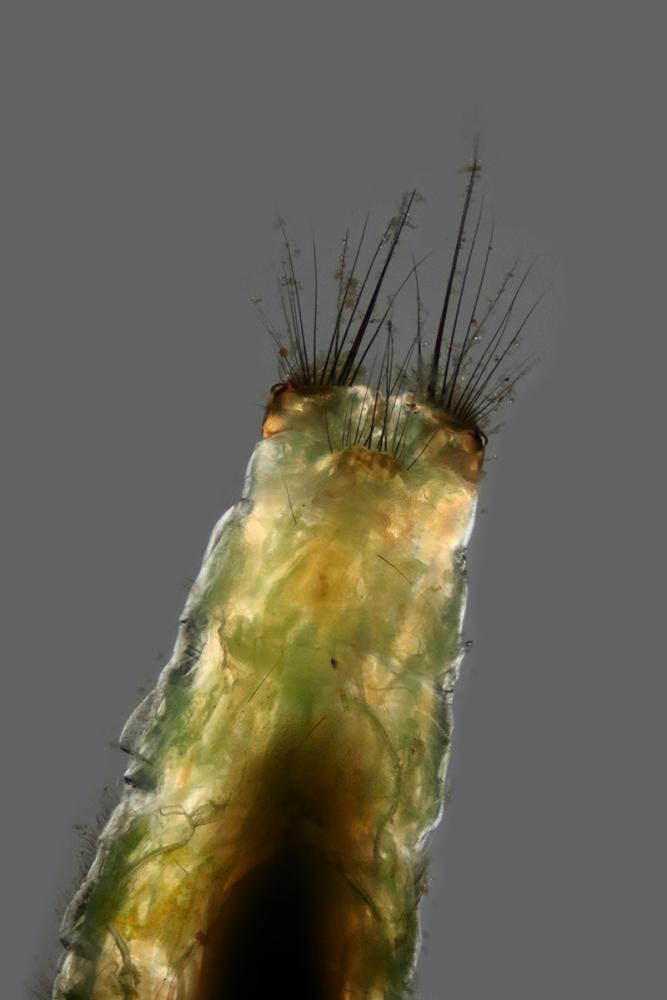 larve  3_V9.jpg