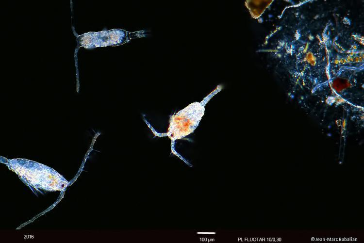 copepode 10 FN 14-07-16c.jpg