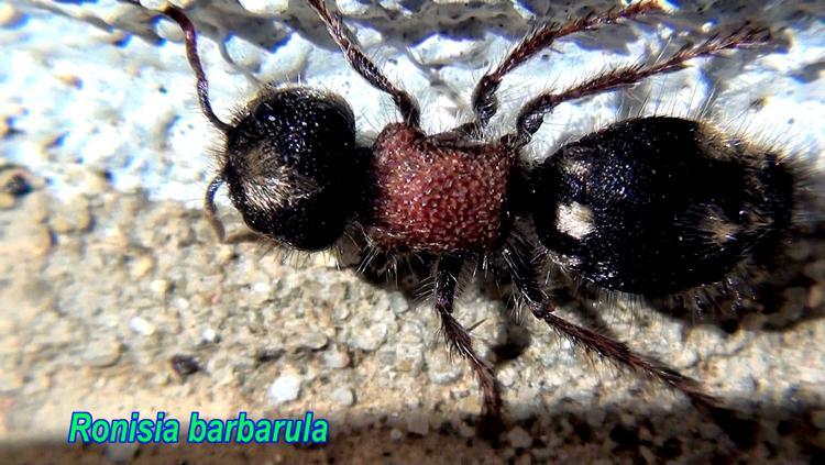 ronisia-babrarula.jpg