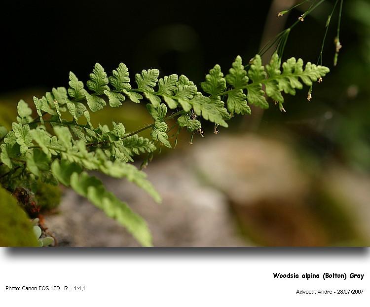 Woodsia_alpi1.jpg