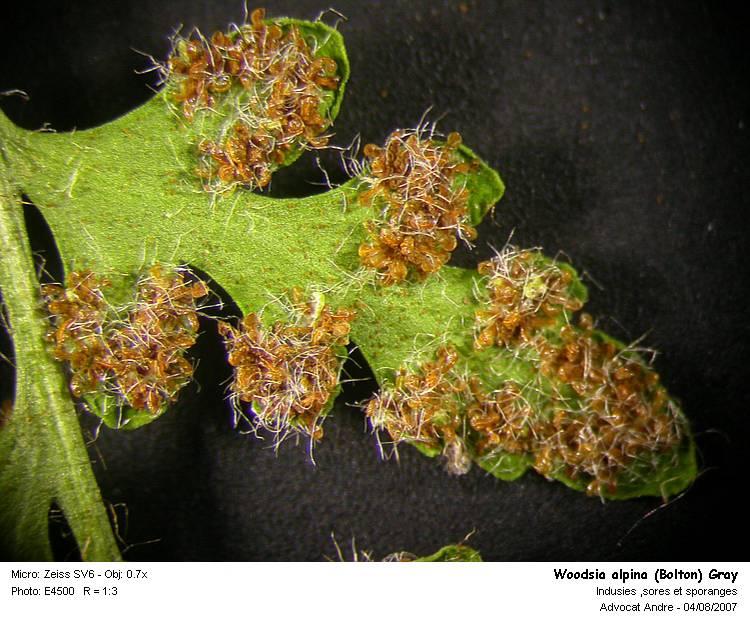 Woodsia_alpina_3.jpg