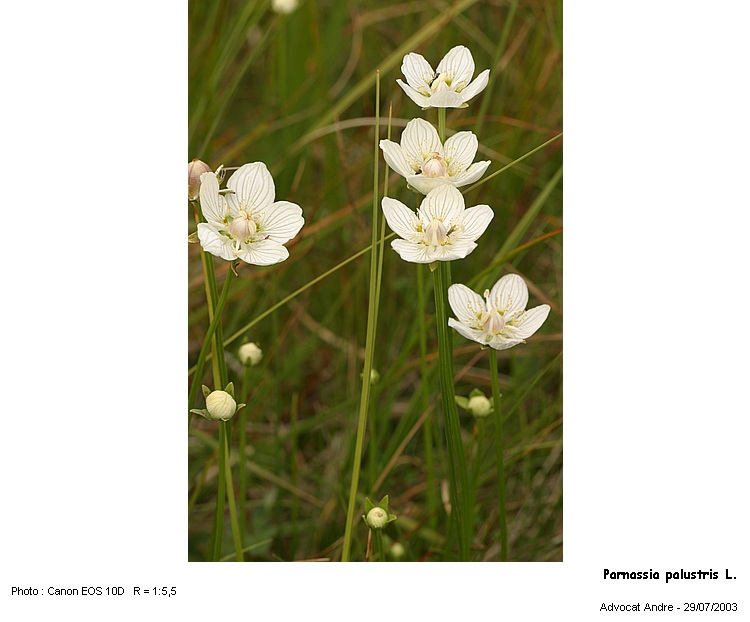 Parnassia_palustris1.jpg
