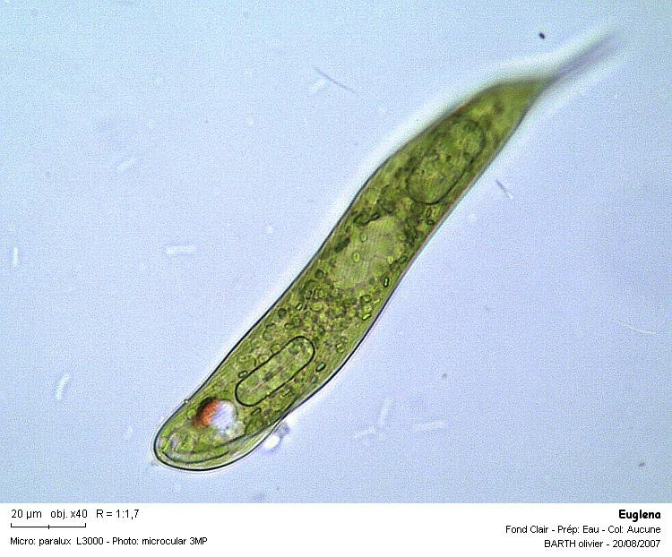 Euglena_oxyurisX40for.JPG