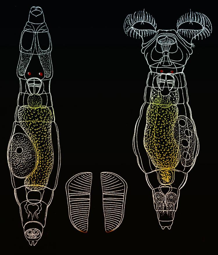 Philodina-flaviceps-Bryce,-.jpg