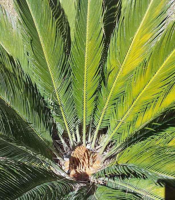 Cycas revoluta-2aFemel-Olonzac-6 08 2016-ALG.jpg