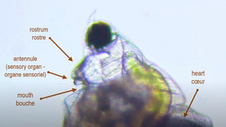 scapholeberis mucronata2.JPG