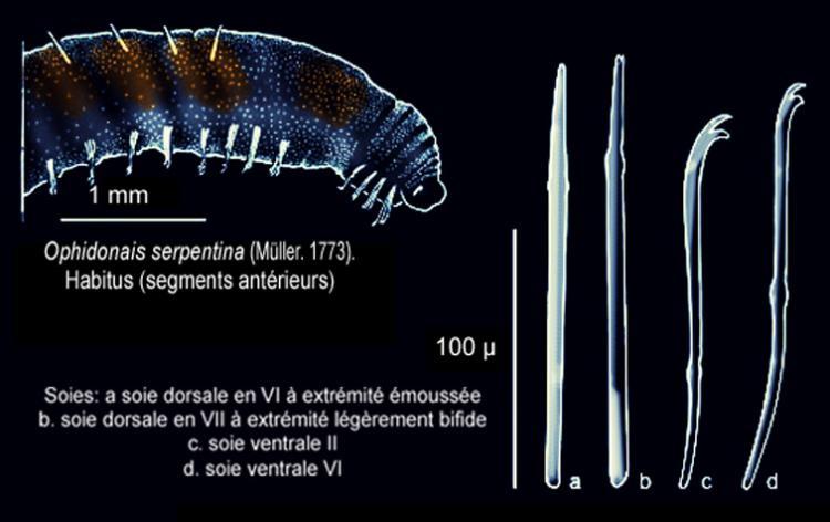 Ophidonais-serpentina.jpg
