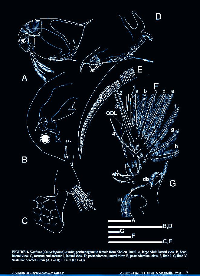 daphnia similis group.JPG