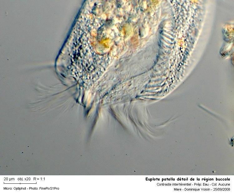 Euplote_patella_detail_de_la_region_buccale.jpg