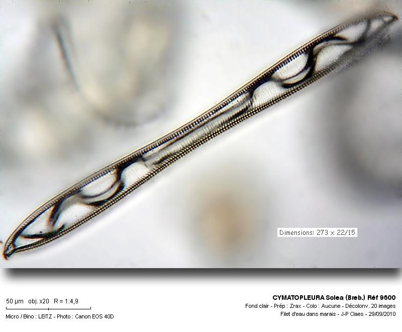 cymatopleura_solea_breb_ref_9600.jpg