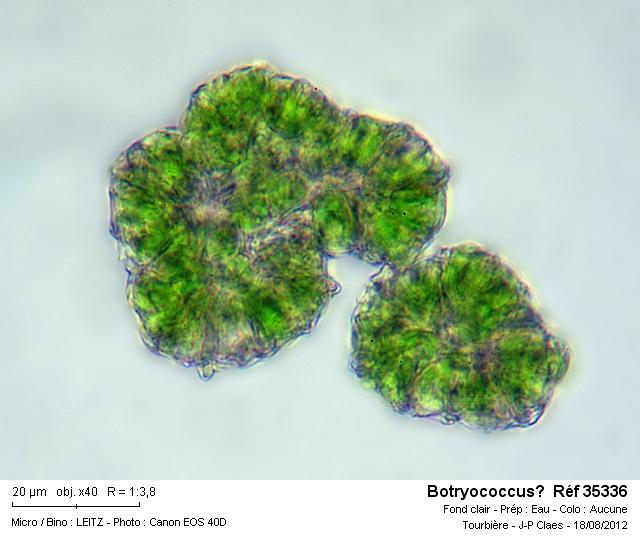 botryococcus__ref_35336.jpg