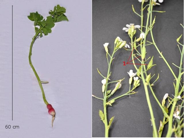 Radis comment deviennent ils creux vegetaux for Amaryllis ne fait que des feuilles