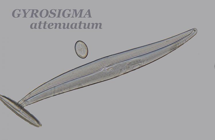 GYROSIGMA attenuatum.jpg