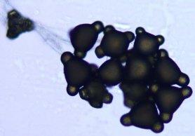 Pollen Onagre bisannuelle A95.jpg
