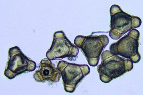 Pollen Onagre bisannuelle A95 3Bains.jpg