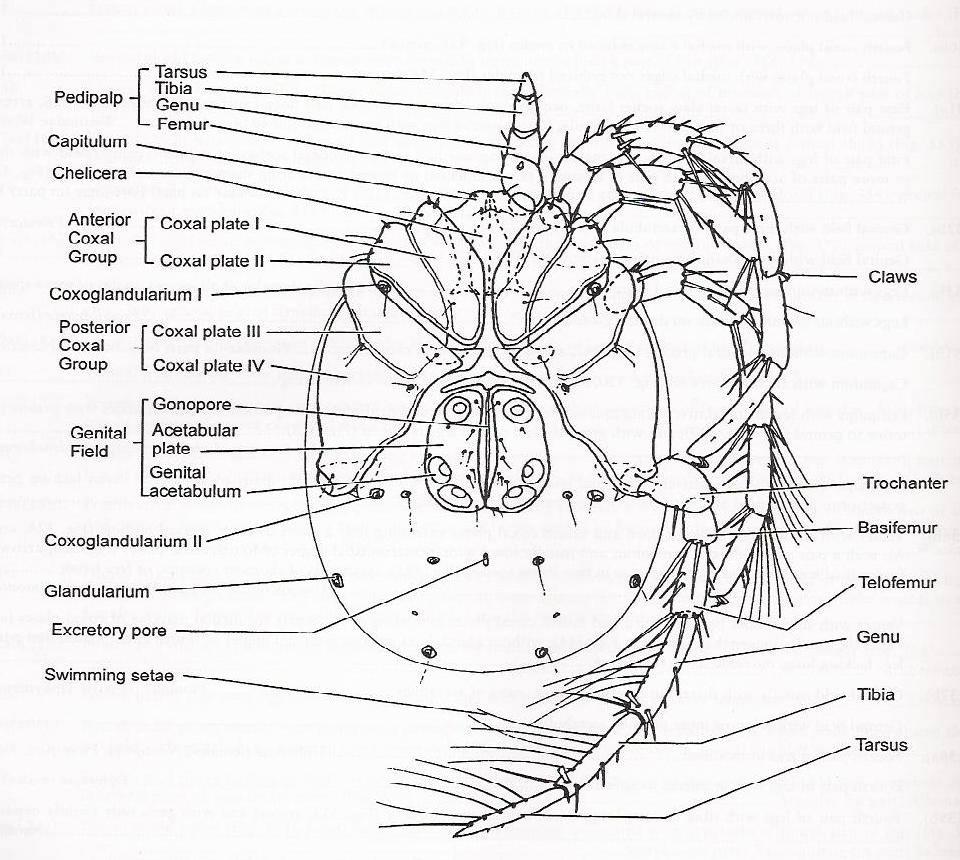 Hydracariens_anatomie.jpg