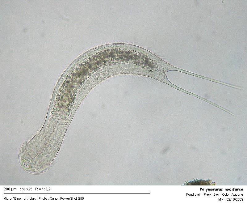polymerurus_nodifurca.jpg