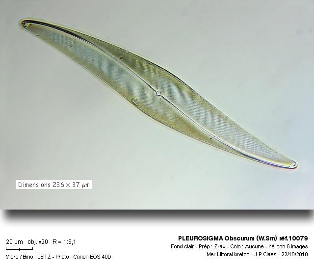 pleurosigma_obscurum_wsm_ref10079.jpg