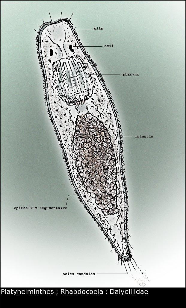 Turbellaria.jpg
