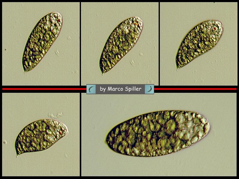 Euglena variabilis 2.jpg