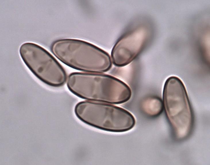 Xerocomus_ripariellus 7.jpg