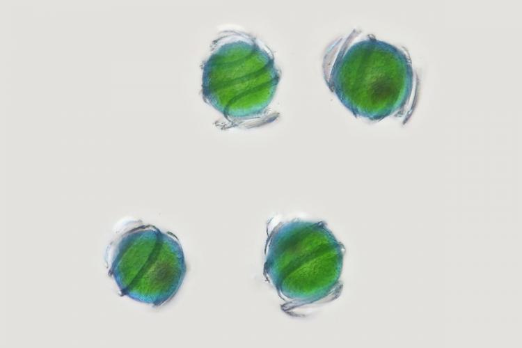 spores prêle 3_V9.jpg