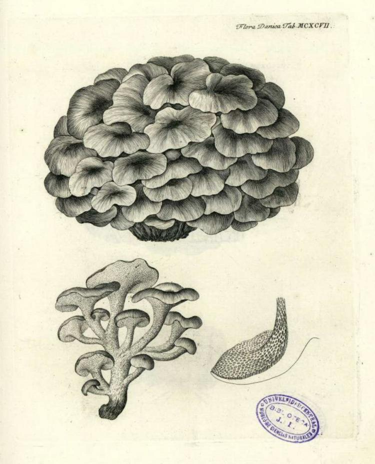 Polyporus umbellatus.jpg