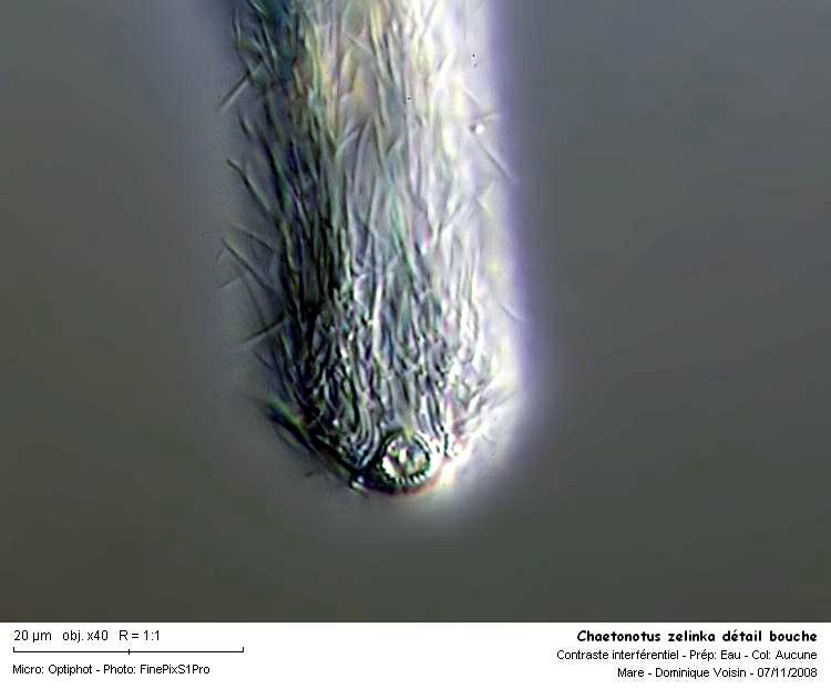 Chaetonotus_zelinka_detail_bouche.jpg