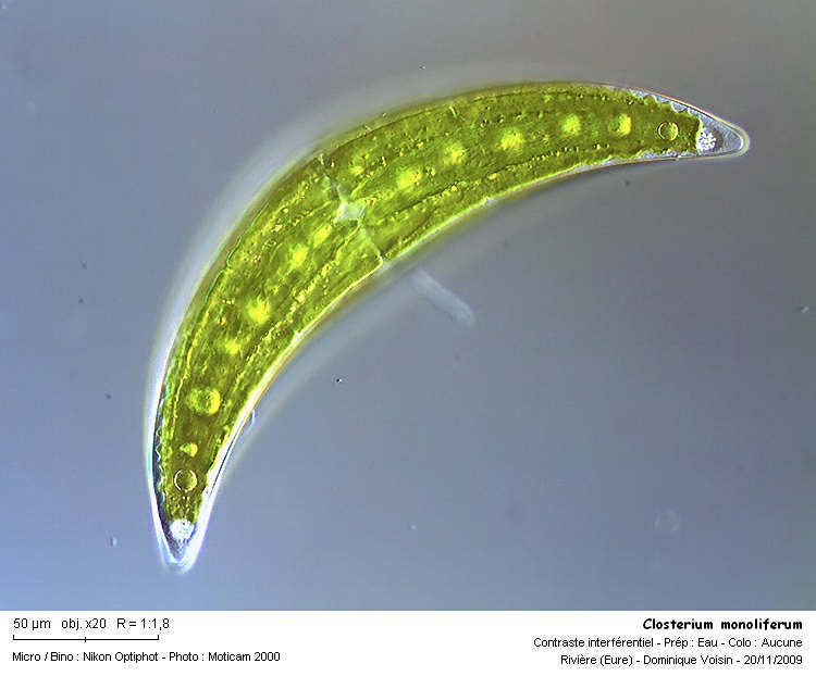 closterium_monoliferum.jpg