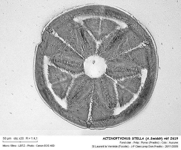 actinoptychus_stella_asmiddt_ref_2619.jpg