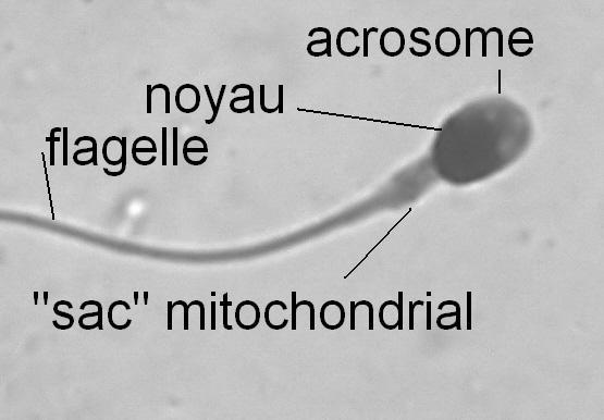 GP-sperm1.jpg