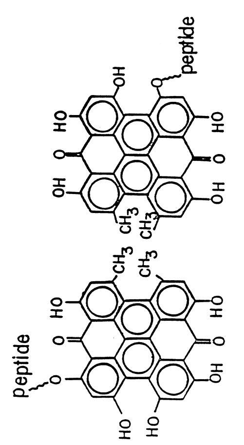 stentorine possible structures.JPG