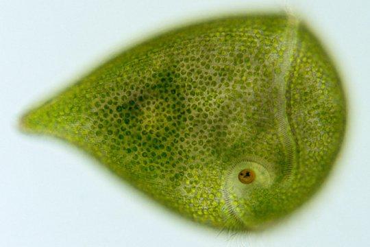 stentor-amethystinus.jpg