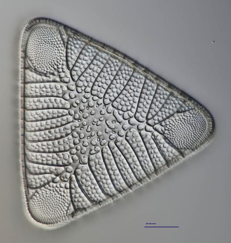triceratium morlandii 22_V9.jpg