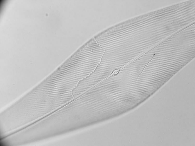 diatomée led n 100x-100.jpg