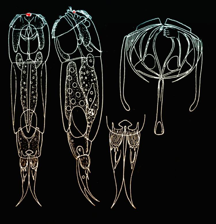 Cephalodella-forficula-(Ehr.jpg