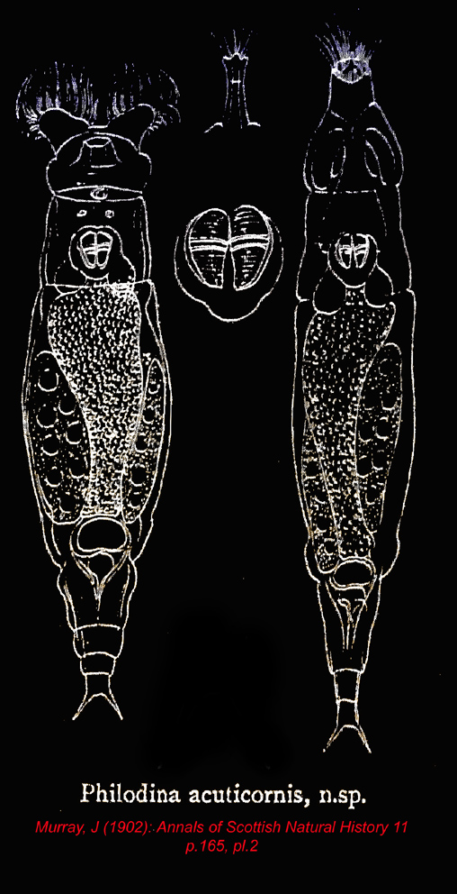 philodina acuticornis.jpg
