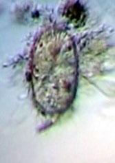 colurella-uncinata-embry.jpg