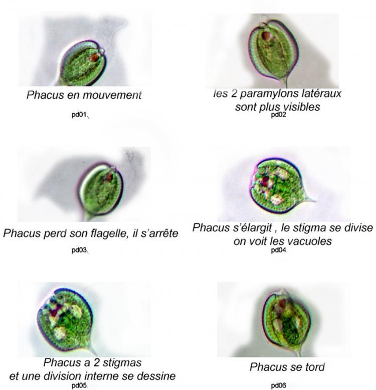 phacus-division1.jpg