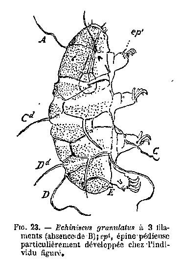 Echiniscus_granulatus_dessin_Cuenot.jpg