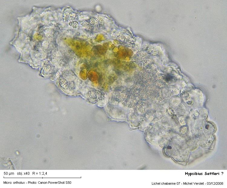 Hypsibius_Sattleri_1.jpg