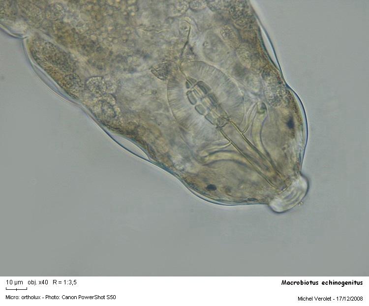 Macrobiotus_echinogenitus.jpg